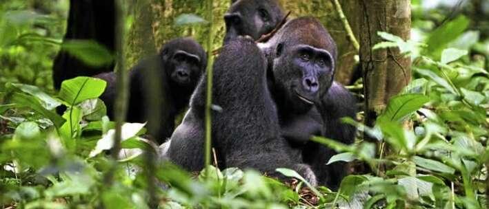 Nuôi 1 con khỉ đột rồi thả về tự nhiên, 5 năm sau người đàn ông bất chấp đi tìm lại và cái kết ngoài tưởng tượng - Ảnh 2.